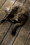Gato Relaxed Imagem de Stock Royalty Free