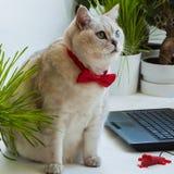Gato respetable inteligente en la corbata de lazo roja distraída del ordenador y muy atento de mirarnos Imagenes de archivo