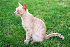Gato rojizo Foto de archivo