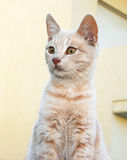 Gato rojizo Imagen de archivo