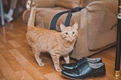 Gato rojo 5 Foto de archivo libre de regalías