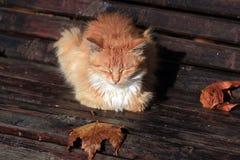 Gato rojo Imagen de archivo