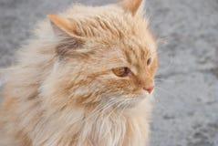 Gato rojo Fotos de archivo