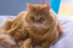 Gato rojo Imagen de archivo libre de regalías