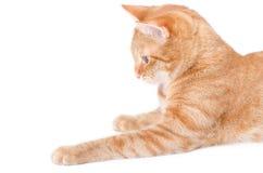 Gato rojo aislado Fotos de archivo