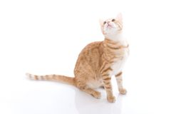 Gato rojo aislado en un blanco Fotografía de archivo