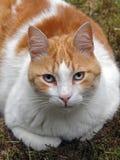 Gato rojo blanco Imagen de archivo