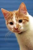 Gato rojo-blanco de Shorthair Imagen de archivo libre de regalías