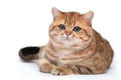 Gato rojo británico en un fondo blanco Foto de archivo libre de regalías