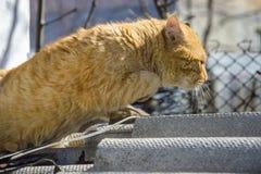Gato rojo brutal de la calle foto de archivo libre de regalías