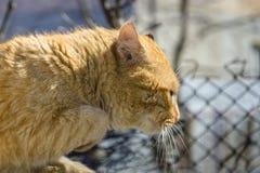 Gato rojo brutal de la calle fotos de archivo libres de regalías