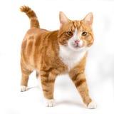 Gato rojo, caminando hacia la cámara, aislada en blanco Fotografía de archivo libre de regalías