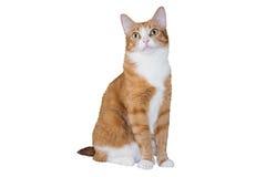 Gato rojo casero Foto de archivo libre de regalías