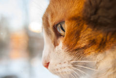 Gato rojo con los ojos verdes en el día soleado lateralmente imagenes de archivo