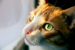 Gato rojo con los ojos verdes en la sol Imagen de archivo libre de regalías