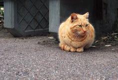 Gato rojo con los ojos verdes que se sientan en fondo gris fotografía de archivo libre de regalías