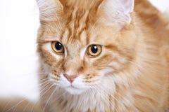 Gato rojo, Coon joven de Maine Imagen de archivo