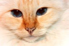 Gato rojo de Birman de la punta Foto de archivo