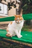 Gato rojo de la calle que presenta en un banco viejo Foto de archivo libre de regalías