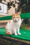 Gato rojo de la calle que presenta en un banco viejo Fotos de archivo libres de regalías