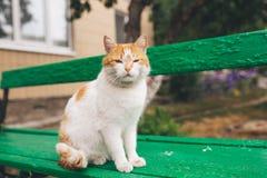 Gato rojo de la calle que presenta en un banco viejo Imágenes de archivo libres de regalías