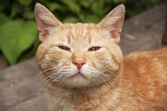 Gato rojo de las lanas del bozal Imagen de archivo libre de regalías