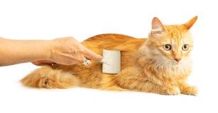 Gato rojo de pelo largo que es cepillado contra fotos de archivo