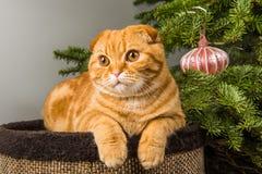 Gato rojo del doblez escoc?s hermoso cerca del ?rbol de navidad imagenes de archivo