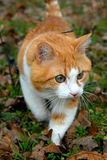 gato Rojo-dirigido Foto de archivo libre de regalías