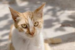 gato Rojo-dirigido Foto de archivo