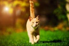 Gato rojo divertido foto de archivo