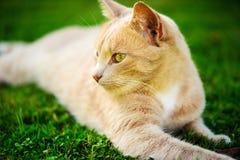 Gato rojo divertido fotografía de archivo