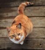 Gato rojo divertido en un piso de madera Fotos de archivo