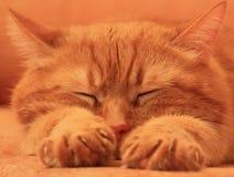 Gato rojo dormido en un fondo anaranjado Imagen de archivo