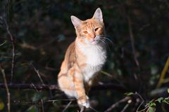 Gato rojo en árbol Fotos de archivo