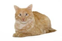 Gato rojo en el fondo blanco Imagenes de archivo