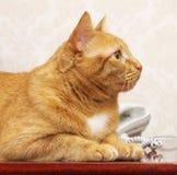 Gato rojo en línea Imagen de archivo libre de regalías