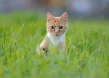 Gato rojo en la hierba Foto de archivo libre de regalías