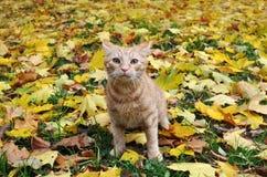 Gato rojo en las hojas de otoño Fotos de archivo