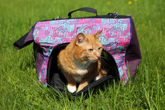 Gato rojo en portador del animal doméstico imagenes de archivo