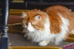 Gato rojo en secuencias del piano Foto de archivo