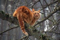 Gato rojo en un peral Cazador para los pájaros Imagen de archivo