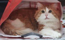 Gato rojo en una bolsa de papel Fotografía de archivo