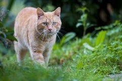 Gato rojo en verde Imágenes de archivo libres de regalías