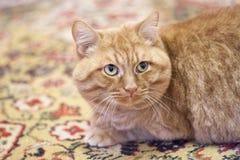 Gato rojo enorme Fotos de archivo