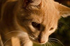 Gato rojo fotogénico con los ojos ambarinos del color Nica, Letonia foto de archivo