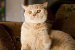 Gato rojo grande Imagen de archivo libre de regalías