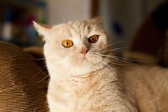 Gato rojo grande Fotografía de archivo libre de regalías