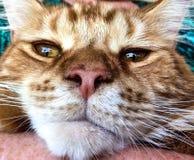 Gato rojo grande imagenes de archivo