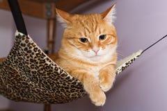 Gato rojo grande que miente en la hamaca Fotografía de archivo libre de regalías
